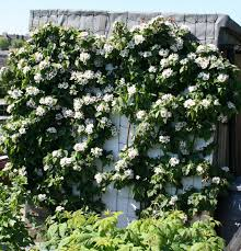 How To Plant And Prune Climbers For The Best ResultsClimbing Plants For Fence