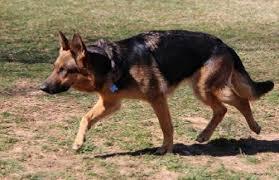 black and brown german shepherd puppies.  German Layla C SGSR In Black And Brown German Shepherd Puppies A