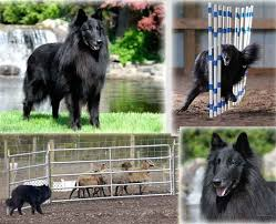 or belgian tervurens are bred primarily from conformation show lines many are also excellent agility obence and herding dogs and some breeders