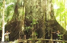 amazon rainforest tree leaves. Wimba Tree In The Tamshiyacu Tahuayo Reserve Iquitos Peru Intended Amazon Rainforest Leaves