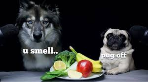 Wolf <b>Dog</b> Reviews Food With <b>Pug</b>! - YouTube