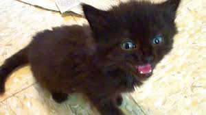 fluffy black kittens with blue eyes. Perfect Fluffy On Fluffy Black Kittens With Blue Eyes