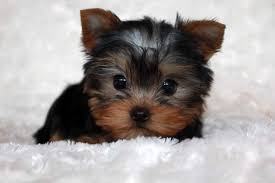 micro teacup yorkie puppies for sale. Wonderful For Micro Teacup Yorkie Puppy For Sale For Puppies Sale R