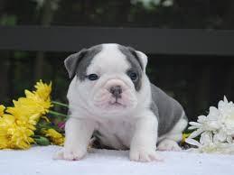 english bulldog puppies jacksonville fl dog english bulldog puppies jacksonville fl