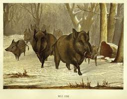 Image result for hog hunting illustration