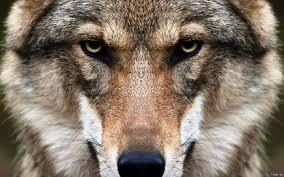 акела волк одиночка