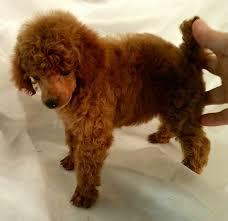 red toy poodle breeder