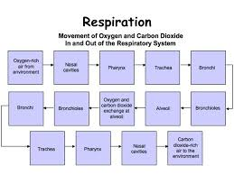 Respiratory System Flow Chart Flow Chart In Respiratory System Windows 10 Repair Install