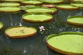Image result for Ботанический сад Pamplemousses , о.Маврикий