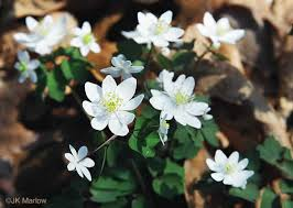 Image result for ​Rue Anemone