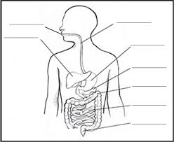 Blank digestive system diagram the