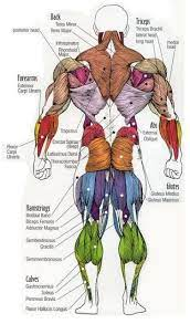 Small muscles arising from the back portion of hand and foot and extending to base of little finger or. Dr Will Mccarthy S Science Site Major Muscles Of The Body Muscle Anatomy Body Anatomy Muscle Body