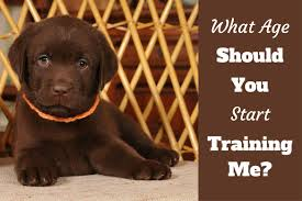 when to start training a puppy a lab puppy looking into camera