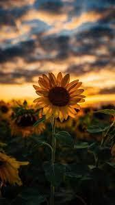 Sunflower Aesthetic Wallpapers ...