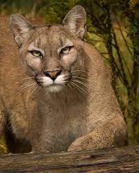 File:Puma (205773461).jpeg - Wikimedia Commons