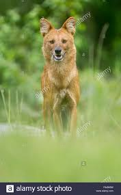 Small Picture Asiatic Wild Dog Dhole Stock Photos Asiatic Wild Dog Dhole Stock