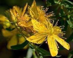 Iperico | Inherba | Il mondo delle piante aromatiche, oli essenziali,  estrazione d'essenze e rimedi cure naturali