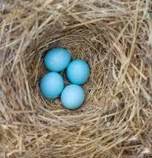 eastern bluebird sialia sialis nest with four eggs stock photo 42080193