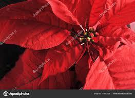 Pflanze Mit Roten Blättern Weihnachtsstern Weihnachts