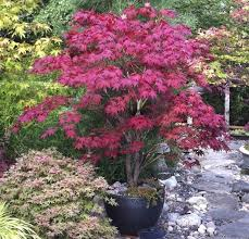 japanese maple tree complete growing