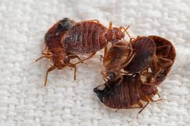 Why Is Getting Rid of Bed Bugs So Hard?