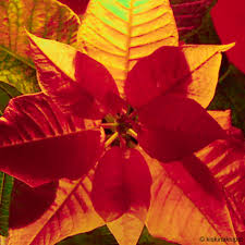 Weihnachtsstern Poinsettia Kiskina Knipst Flickr