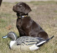 chocolate lab duck. Unique Duck On Chocolate Lab Duck H