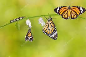 Afbeeldingsresultaat voor transformatie en vlinders
