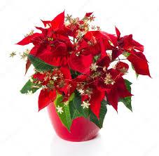Roter Weihnachtsstern Weihnachten Blume Mit Goldene