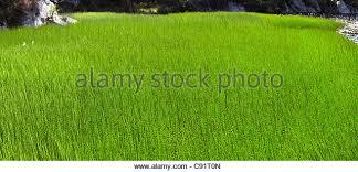 tall green grass field. Tall Grass Growing In Field - Stock Image Green :