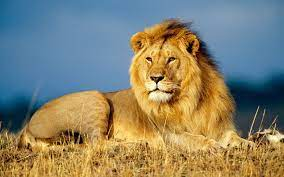Lion Wallpapers - Top Free Lion ...