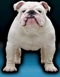kenacy grand english bulldogs kenacy grand english bulldog puppies for in michigan english bulldog stud in michigan english bulldogs in michigan