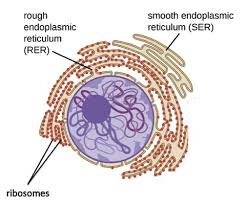 Endoplasmic Reticulum Smooth Endoplasmic Reticulum Ser Expii