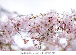 closeup of blooming tree on ske background nature in blossom