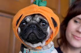 pug in pumpkin costume. Simple Costume Download To Pug In Pumpkin Costume A