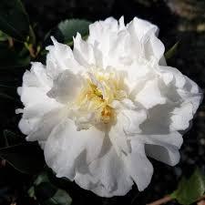 2 5 qt mine no yuki camellia sasanqua evergreen shrub with white