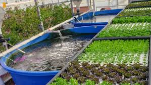 Tilapia Aquaponics Designs Innovative Nevada Farm Uses Fish And Tomatoes To Grow Each Other