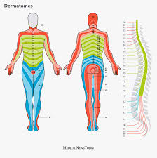 A coccygeal nerve pair : Dermatomes Definition Chart And Diagram