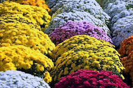chrysanthemum dearplants com