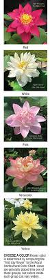 Lotus Flower Color Chart Tips For Choosing Planting And Growing Lotus Pond Trade