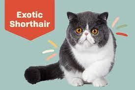 shorthair exotic kittens online -