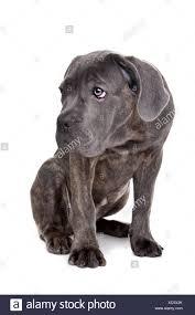 Grigio cane corso cucciolo di cane Foto stock - Alamy