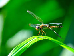 Image result for DRAGON FLIES