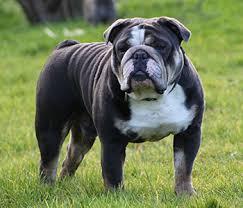 Olde English Bulldog Weight Chart Olde English Bulldogge Dog Breed