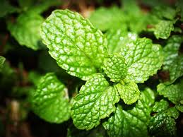 Mcx Mentha Oil Chart Rate Signal Mcx Mentha Oil Bhav Copy Historical Price Data Of 2018 For
