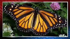 Butterfly Patterns Mesmerizing BUTTERFLY PATTERNS Black Lights Show Behaviors Whotv