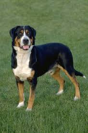 greater swiss mountain dog. Interesting Mountain Greater Swiss Mountain Dog For R