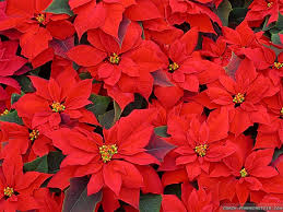 Red Flowers For Christmas HD Wallpaper
