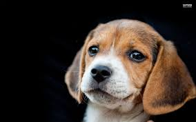 Puppy Wallpaper For Bedroom Images And Beautiful Beagle Puppy On Black Background Wallpapers