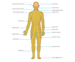 Nerve Chart Leg Peripheral Nerve Injury Map Axogen